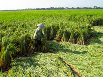 Vietnamese farmer harvest on a rice field Royalty Free Stock Photography