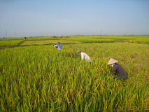 Vietnamese farmer harvest on a rice field Stock Photography