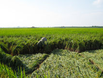 Vietnamese farmer harvest on a rice field Stock Photo