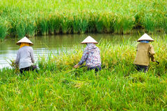 Vietnamese farmer harvesting rice on field Stock Photo