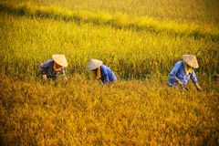 Vietnamese farmer harvesting rice on field Stock Images