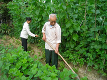 Vietnamese farmer look after the trees in the garden Stock Photography