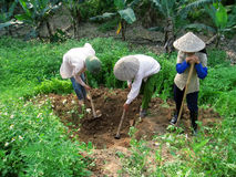 Vietnamese farmer look after the trees in the garden Royalty Free Stock Photography