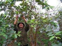 Vietnamese farmer look after the trees in the garden Stock Photos