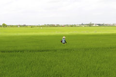 Vietnamese farmer planting rice in the field Stock Photos