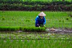 Vietnamese farmer planting rice Stock Images