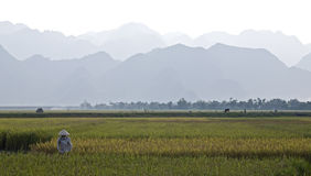 Vietnamese Farmer in Rice Field Stock Image