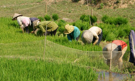 Vietnamese farmer sow rice on paddy field Royalty Free Stock Images