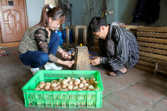 Vietnamese farmer to check egg in incubator Royalty Free Stock Images