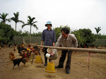 Vietnamese farmer to feed chicken by rice Royalty Free Stock Photos