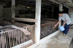 Vietnamese Farmer To Feed Pigs Stock Photo