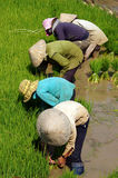 Vietnamese farmer transplant rice seeding Stock Photos