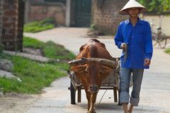 Vietnamese Farmer with Water Buffalo. Vietnamese farmer walks with his water buffalo pulling wooden cart in Doung Lam Village, North-West of Hanoi Stock Photography