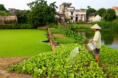 Vietnamese Farmer watering Crop Stock Image