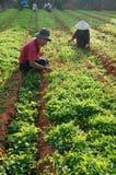Vietnamese farmer weed on vegetable farm royalty free stock photos