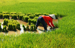 Vietnamese farmer work on rice  field Stock Photo