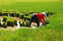 Vietnamese farmer work on rice field stock photo