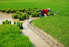 Vietnamese farmer working on rice  field Stock Images