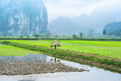 Vietnamese farmer working at rice field. Ninh Binh, Vietnam Royalty Free Stock Photo
