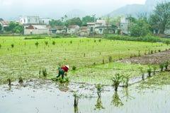 Vietnamese farmer works at rice field. Ninh Binh, Vietnam Royalty Free Stock Photos