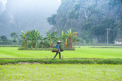Vietnamese farmer works at rice field. Ninh Binh, Vietnam Stock Photos