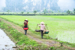 Vietnamese farmer works at rice field. Ninh Binh, Vietnam Royalty Free Stock Image