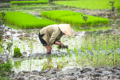 Vietnamese farmer works at rice field. Ninh Binh, Vietnam Stock Photo