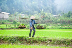 Vietnamese farmer works at rice field. Ninh Binh, Vietnam Stock Photography