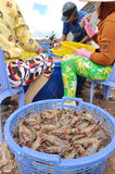 Vietnamese farmers are grading shrimps after harvesting from their pond before selling to processing plants in Bac Lieu city Stock Images