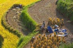 Vietnamese farmers harvesting rice on terraced paddy field Stock Photo