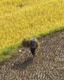 Vietnamese farmers harvesting rice on terraced paddy field Stock Photos