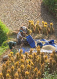 Vietnamese farmers harvesting rice on terraced paddy field Royalty Free Stock Photo