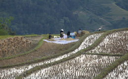 Vietnamese farmers harvesting rice on terraced paddy field Royalty Free Stock Photography