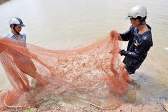 Vietnamese farmers are harvesting shrimps from their pond with a fishing net and small baskets in Bac Lieu city Royalty Free Stock Images