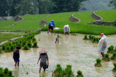 Vietnamese farmers in rice field Royalty Free Stock Images