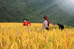 Vietnamese Farmers Rice grain threshing during harvest time stock photography