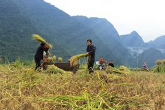 Vietnamese Farmers Rice grain threshing during harvest time royalty free stock photography