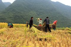 Vietnamese Farmers Rice grain threshing during harvest time stock images