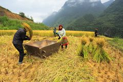 Vietnamese Farmers Rice grain threshing during harvest time royalty free stock photos