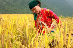Vietnamese Farmers Rice grain threshing during harvest time stock image