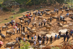 Vietnamese farmers selling and buying water buffalo for agriculture activities Stock Image