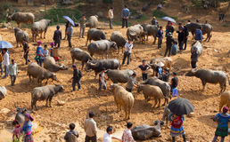 Vietnamese farmers selling and buying water buffalo Royalty Free Stock Image