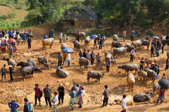 Vietnamese farmers selling and buying water buffalo Stock Images