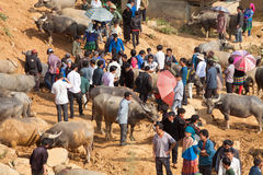 Vietnamese farmers selling and buying water buffalo Royalty Free Stock Photos