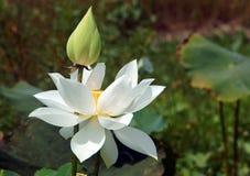 Vietnamese flower, white lotus flower Royalty Free Stock Image