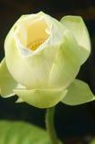 Vietnamese flower, white lotus flower Royalty Free Stock Images