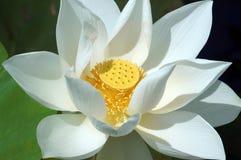 Vietnamese flower, white lotus flower Stock Photos