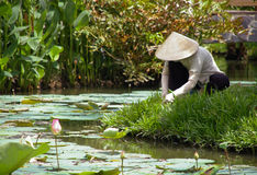 Vietnamese gardening. A woman tending a classic Vietnamese garden in traditional hat royalty free stock images