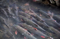 Vietnamese God fish are swimming in the God stream of Cam Luong in Thanh Hoa province Royalty Free Stock Photography
