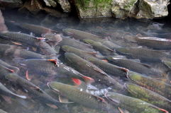Vietnamese God fish are swimming in the God stream of Cam Luong in Thanh Hoa province Stock Photography
